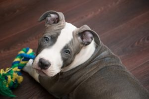Best-Chew-Toys-for-Pit-Bulls