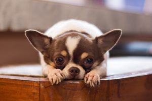 How-Long-do-Chihuahuas-Live-For