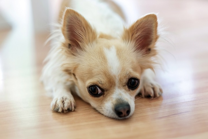 What-Variables-Influence-the-Lifespan-of-a-Chihuahua