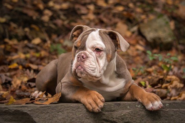 A-5-month-old-lilac-colored-American-Bulldog-poses-for-photographs-in-the-fall-leaves-in-North-Carolina-USA