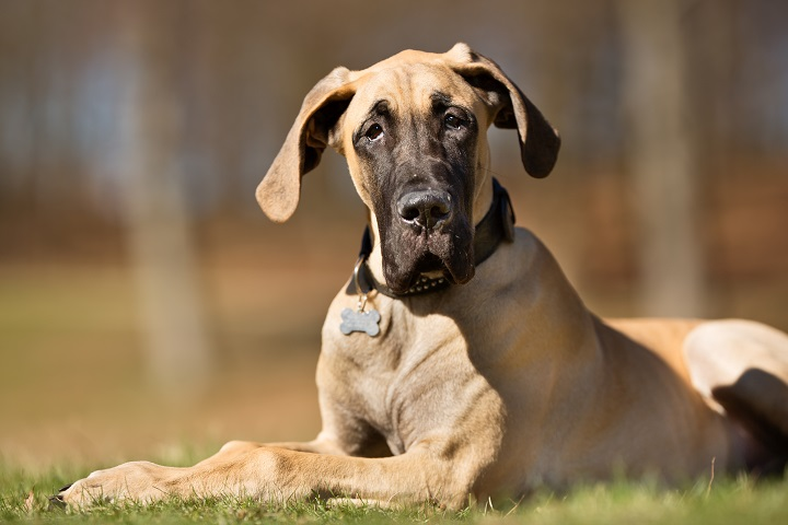 A-purebred-Great-Dane-dog-without-leash-outdoors