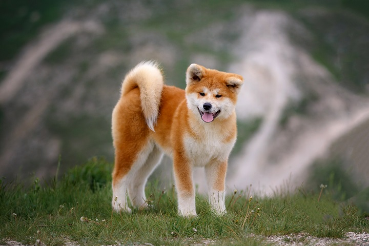 Beautiful-Akita-Inu-puppy-for-a-walk-on-the-background-of-nature