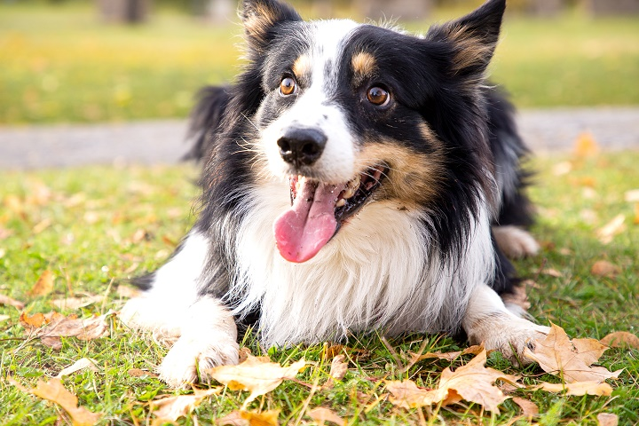Border-collie-playing-in-the-park