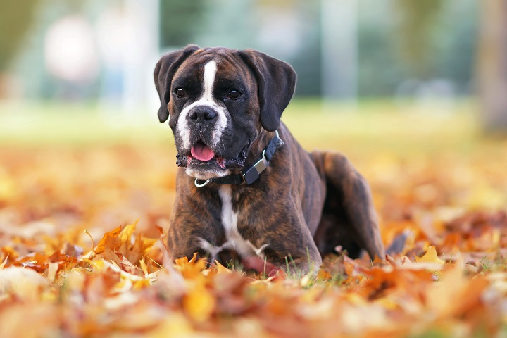 Cute-brindle-Boxer-dog-posing-outdoors-lying-down-on-fallen-yellow-maple-leaves-in-autumn