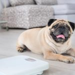 Cute-overweight-pug-on-floor-with-weight-scale-at-home