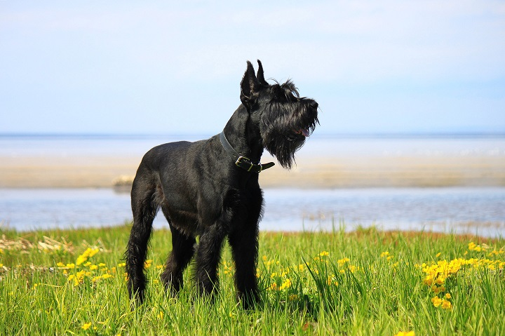 Giant-Schnauzer-standing-on-the-grass