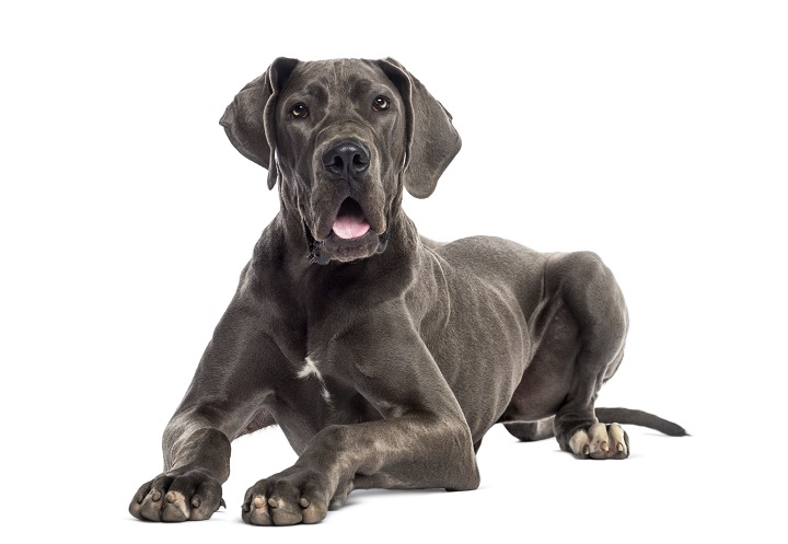 Great-Dane-lying-down-8-months-old