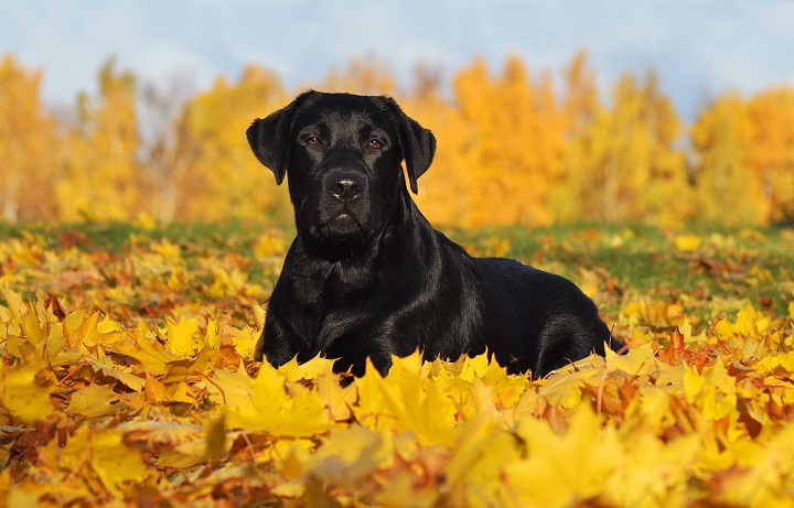 Labrador-Retriever-lying-down-in-the-beautiful-Autumn-leaves