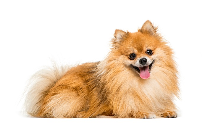 Pomeranian-2-years-old-lying-in-front-of-white-background
