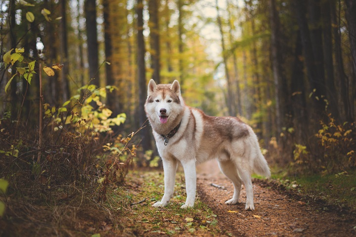 Portrait-of-gorgeous-Siberian-Husky-dog-standing-in-the-bright-enchanting-fall-forest.