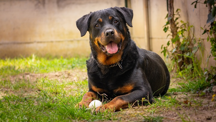 Rottweiler-dog-play-with-the-ball-in-the-garden-happy