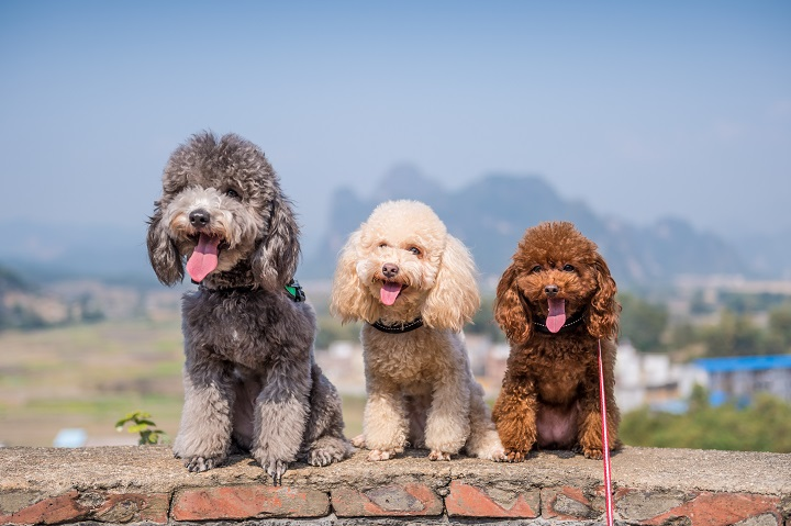 Three-poodles-sitting-side-by-side