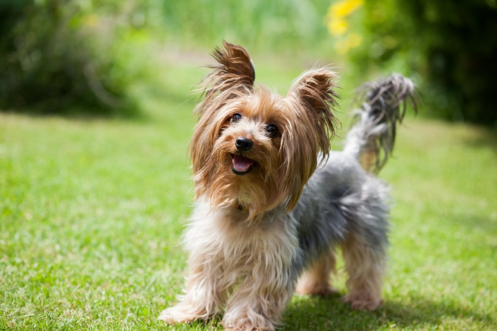 Yorkshire-terrier-playing-in-the-park-on-the-grass