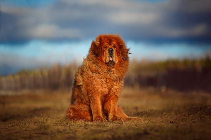 beautiful-Tibetan-mastiff.-red-dog-on-the-background-of-a-spectacular-sky