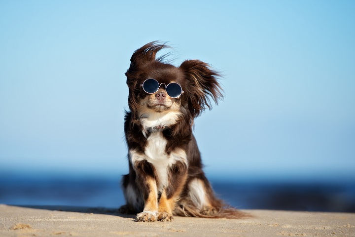 funny-chihuahua-dog-posing-on-a-beach-in-sunglasses