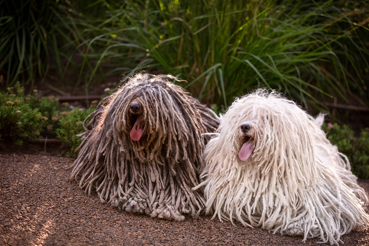 group-of-Hungarian-puli-dog-with-dreadlock-outdoor-in-summer