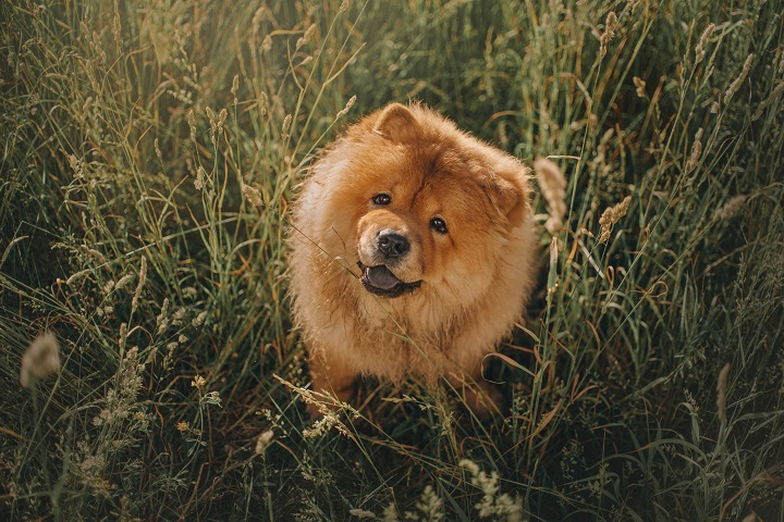 happy-chow-chow-dog-sitting-in-long-grass-outdoors