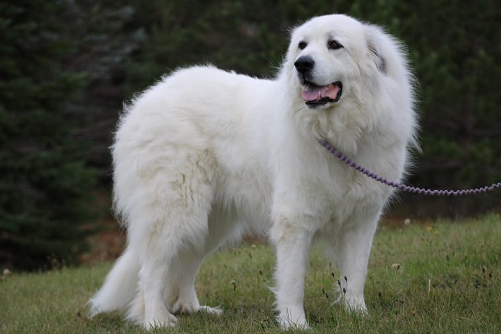 A-Great-Pyrenees-dog-on-a-leash-that-looks-very-happy