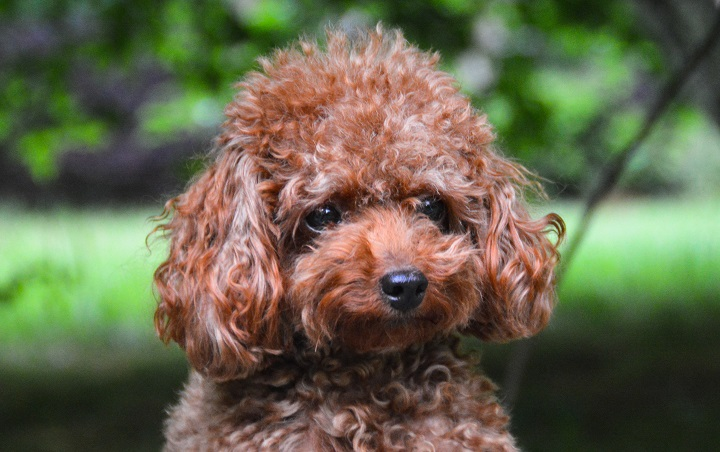 Adorable-Teacup-Poodle-with-a-green-background
