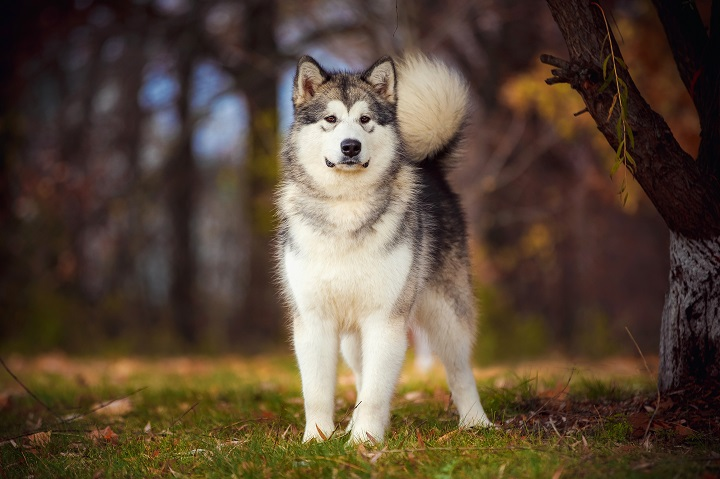 Alaskan-Malamute-on-nature-in-the-autumn-park-on-a-background-of-red-and-yellow-leaves