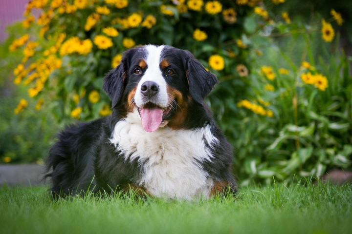 Bernese-mountain-dog-female-lie-in-the-park.-Dog-in-flowers-background