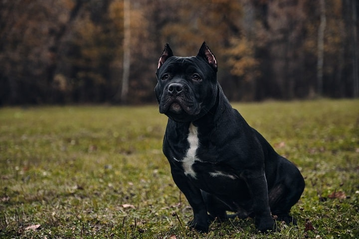Black-American-bully-sits-on-the-field