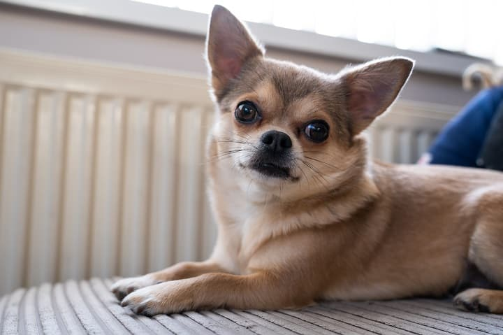 Blue-fawn-short-haired-Chihuahua