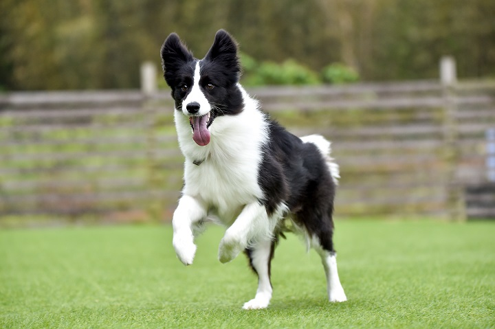 Border-collie-playing-with-dog-run