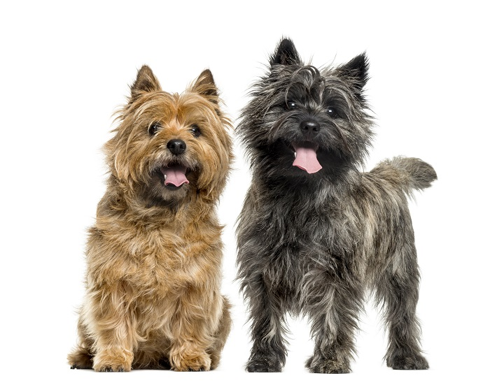 Cairn-terriers-in-front-of-white-background