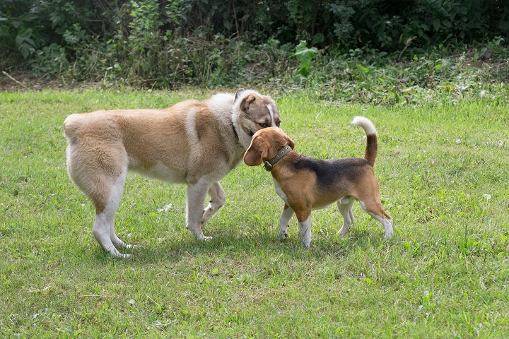 Central-asian-shepherd-dog-puppy-and-english-beagle-puppy-are-standing-on-a-green-grass-in-the-summer-park.-Pet-animals.-Purebred-dog