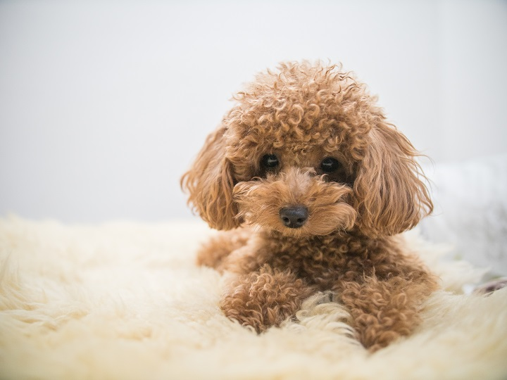 Curly-Haired-Toy-Poodle