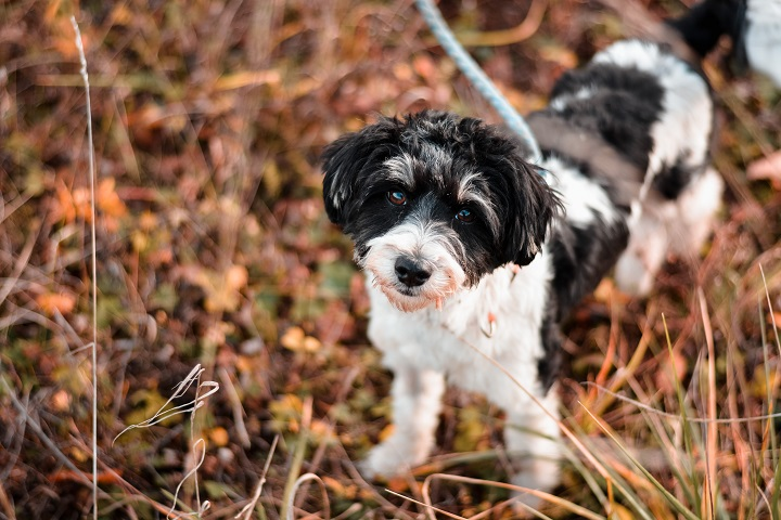 Cute-small-poodle-mix-breed-dog-posing-on-leash-in-autumn-nature