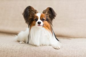 Papillon-dog-lying-on-the-couch-stretching-his-paws