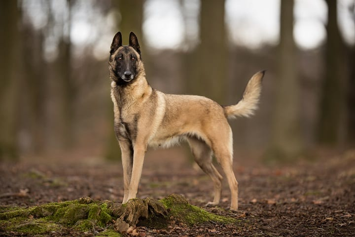Pedigree-Belgian-Malinois-Shepherd-dog-outdoors-in-the-forest-on-a-sunny-spring-day
