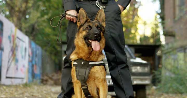 Police-officer-with-his-german-shepherd-dog-patrol-car-in-the-background
