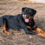 Rottweiler-breed-dog-resting-lying-down-in-the-forest