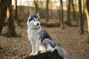 Siberian-husky-is-sitting-on-the-tree-in-spring-forest