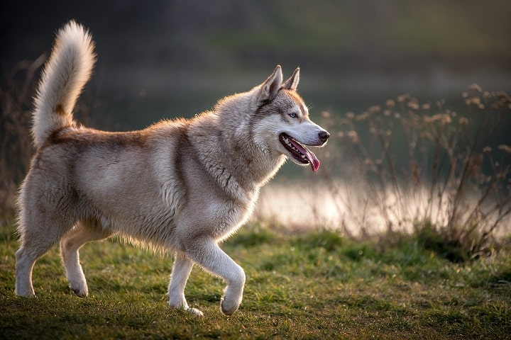 Side-portrait-of-a-magnificent-husky.-The-husky-has-a-brownish-gray-white-coat-bright-blue-eyes-and-raises-his-tail
