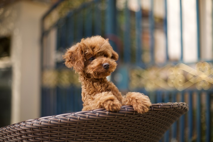 Toy-poodle-puppy