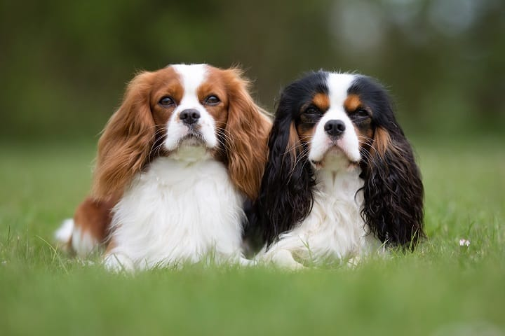 Two-purebred-Cavalier-King-Charles-Spaniel-dogs-without-leash-outdoors-in-the-nature-on-a-sunny-day