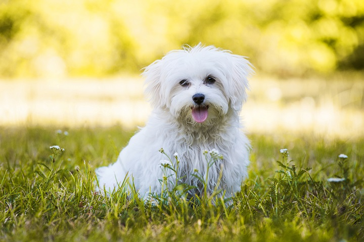 Young-maltese-dog-in-a-meadow