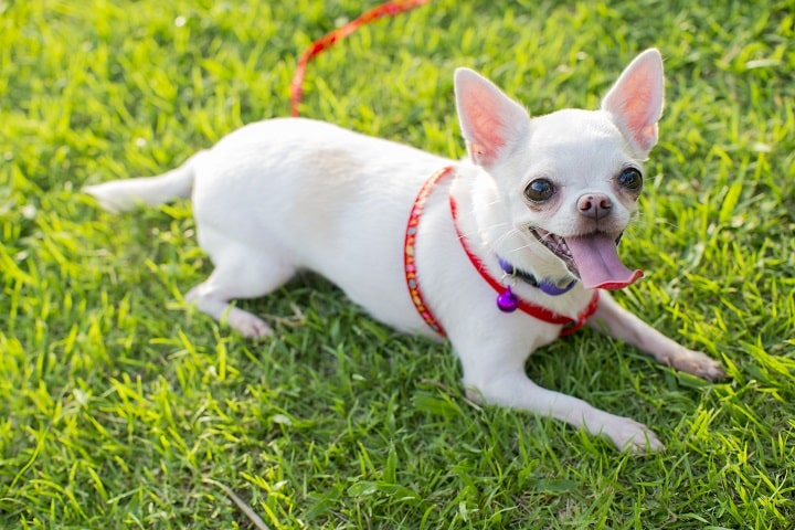 chihuahua-puppy-at-the-garden