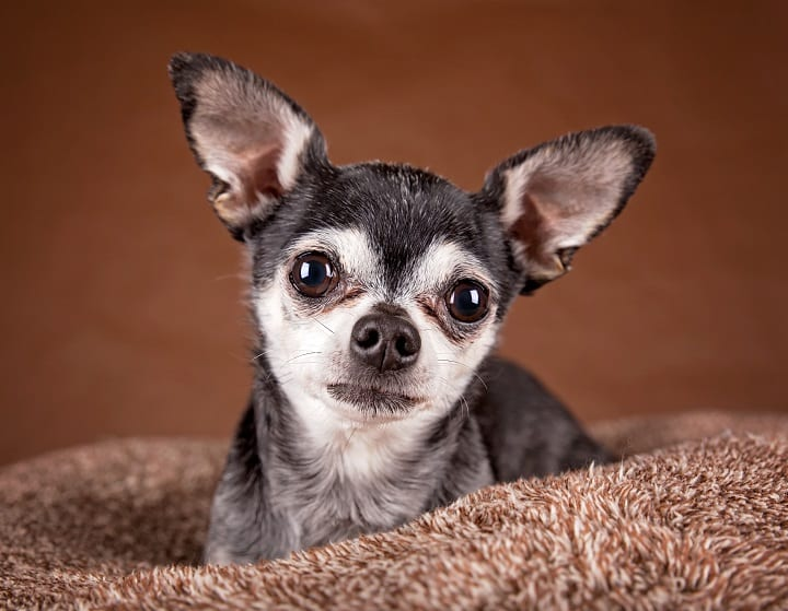 cute-apple-head-chihuahua-on-a-soft-brown-pet-bed-in-a-home-environment
