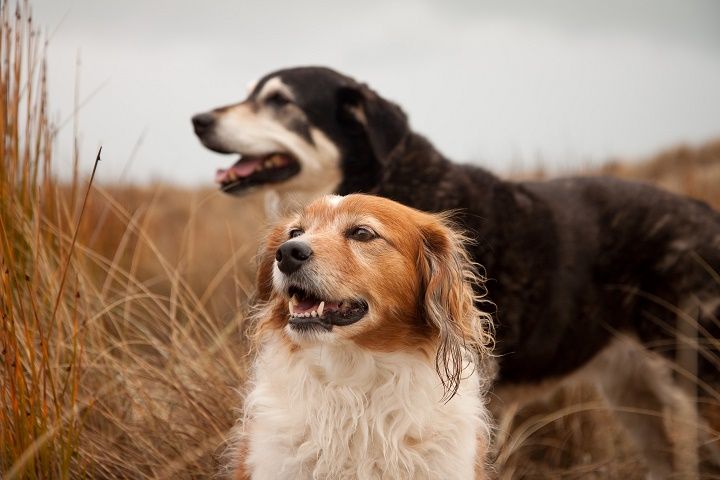 two-New-Zealand-sheep-dogs