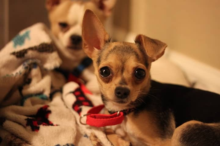 two-cuddling-teacup-chihuahua-dogs-9861