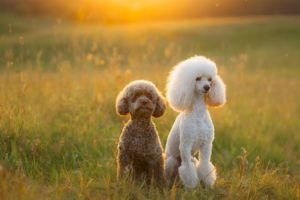 two-poodles-on-the-grass