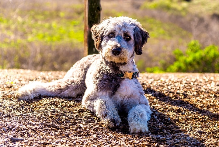 Aussiedoodle-is-a-designer-dog-mix-between-purebred-poodle-and-Australian-Shepherd