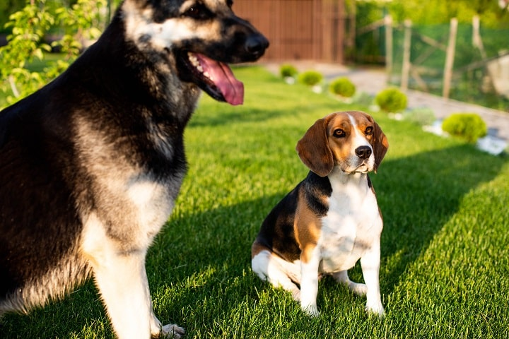 Beagle-dog-and-Eastern-European-shepherd-dog-playing-on-the-lawn-grass-next-to-the-house-outdoors