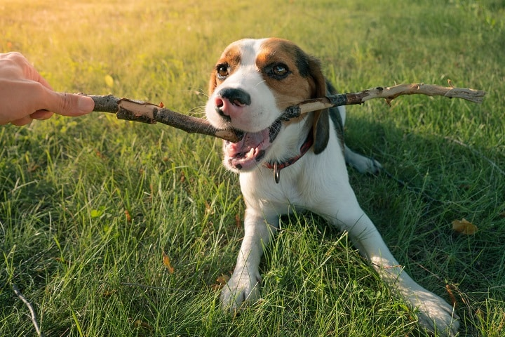 Beagle-puppy-playing-with-a-stick